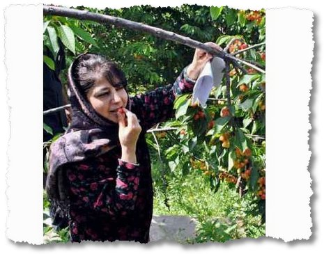 Eating fresh: PDP President Mahbooba Mufti Monday eats Cherries from her residential lawns after speaking to media persons (Mubashir Khan/GK)
